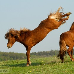 Ogiery kuca islandzkiego walczące i wierzgające wiosną na łące equine photography zdjęcia koni