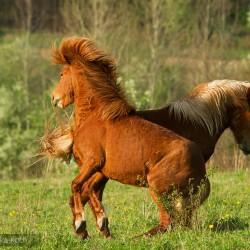 Ogiery kuca islandzkiego walczące wiosną na łące equine photography zdjęcia koni