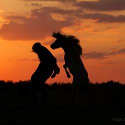 Ogiery kuca islandzkiego walczące i zachodzie słońca na tle czerwonego nieba
