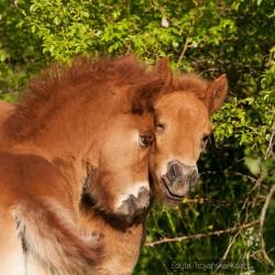 Portret dwóch bawiących się źrebaków kuca islandzkiego na tle krzaku dzikiej róży equine photography zdjęcia koni