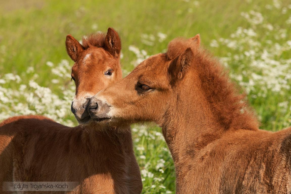 Portret bawiących się kasztanowatych źrebaków kuca islandzkiego equine photography zdjęcia koni