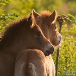 Portret dwóch źrebaków kuca islandzkiego o zachodzie słońca equine photography zdjęcia koni