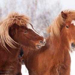 Ogiery islandzkie bawiące się zimą na śniegu equine photography zdjęcia koni