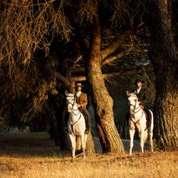 Jeźdźcy portugalscy na koniach lusitano pod starymi sosnami w Portugalii