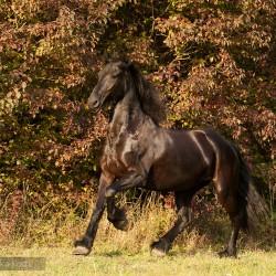 Kara klacz fryzyjska galopująca jesienią na tle kolorowych krzewów zdjęcia koni