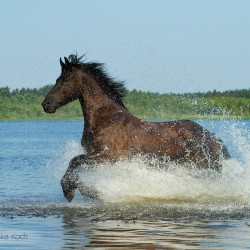 Friesian mare galloping through the lake in summertime