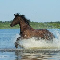 Kara klacz fryzyjska galopująca latem w jeziorze zdjęcia koni