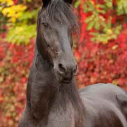 Portrait of black Friesian mare against colourful leaves in autumn