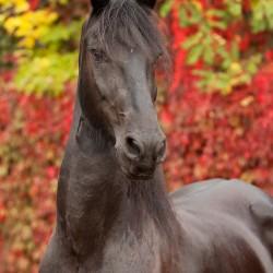 Portret karej klaczy fryzyjskiej na tle czerwonej winorośli zdjęcia koni
