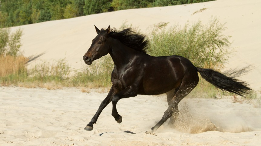 Malopolski mare galloping through the sand
