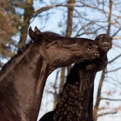 Friesian horses playing in winter against trees