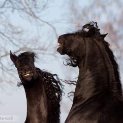 Friesian horses fighting in winter