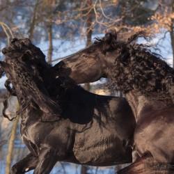 Kare fryzy wałach i ogier walczące zimą na tle drzew zdjęcia koni