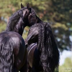 Friesian horses ruffling in spring scenery against trees