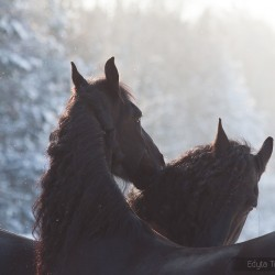 Kare fryzy skubiące się zimą o zachodzie słońca zdjęcia koni