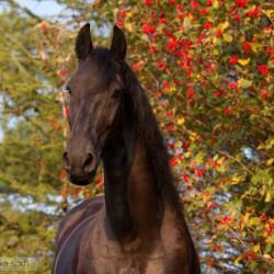 Portret karej klaczy fryzyjskiej jesienią na tle krzewu z czerwonymi owocami zdjęcia koni