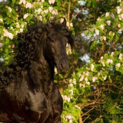 Portrait of black Friesian stallion against blooming acacia