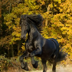 Friesian stallion rising against the forest in autumn