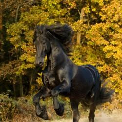 Kary ogier fryzyjski stający dęba na tle jesiennego lasu zdjęcia koni