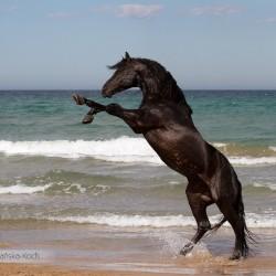 Kary ogier andaluzyjski stojący dęba na plaży nad morzem w Hiszpanii zdjęcia koni