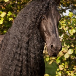 Portrait of black Friesian stallion with long mane