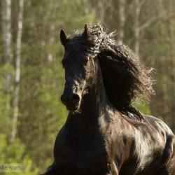Portret karego ogiera fryzyjskiego wiosną na tle lasu zdjęcia koni