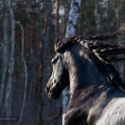 Portrait of black Friesian stallion with flowing mane againt the forest
