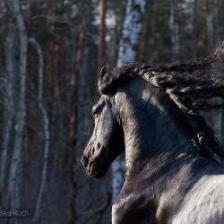 Wiosenny portret karego ogiera fryzyjskiego o zachodzie słońca na tle lasu zdjęcia koni