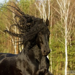 Portrait of black Friesian stallion with flowing mane