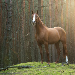 Half-bred mare standing in the forest at sunset