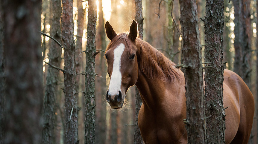 Autumn portrait of half-bred mare in the forest at sunset
