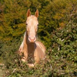 Portret szampańskiej klaczy AQH jesienią zdjęcia koni
