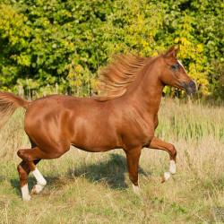 Arabian stallion trotting in autumn scenery