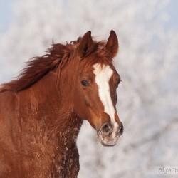 Portret kasztanowatej klaczy arabskiej zimą na tle oszronionych drzew zdjęcia koni