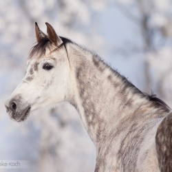 Portret siwej klaczy arabskiej na tle oszronionych zimą drzew zdjęcia koni
