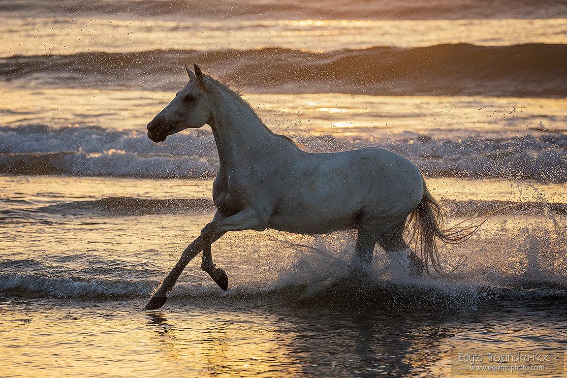 Arabian horse on the beach in Morocco