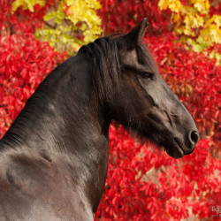 Portrait of a Friesian mare against red wine in autumn