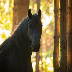 Autumn portrait of Friesian mare among trees at sunrise