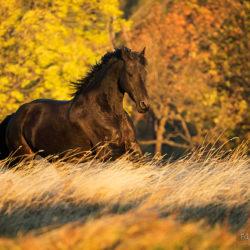 Klacz fryzyjska galopująca jesienią w górach wśród traw