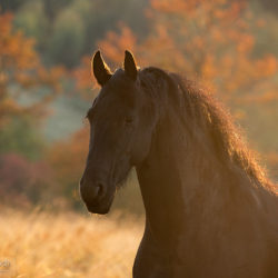 Autumn portrait of Friesian mare against colourful trees