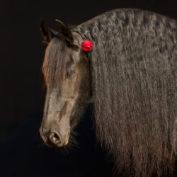 Portrait of Friesian mare on the black background with rose