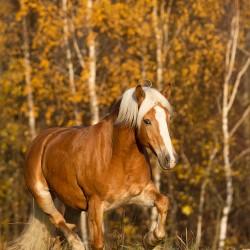 Klacz haflinger kłusująca jesienią na tle złotych brzóz zdjęcia koni