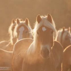 Stado haflingerów jesienią o świcie zdjęcia koni