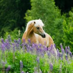 Klacz haflinger wiosną we fioletowym łubinie na tle lasu zdjęcia koni