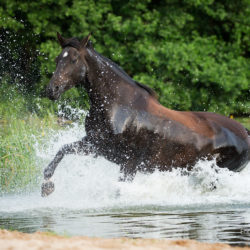 Half-bred mare trotting through the water in the summer