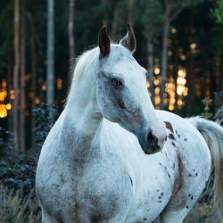 Autumn portrait of half-bred mare at sunset against forest