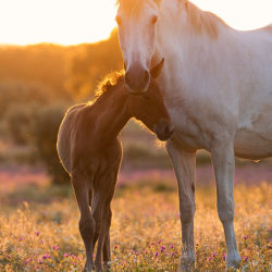 Lusitano mare with foal at sunset