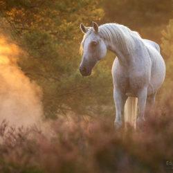 Arabian mare standing among heathers