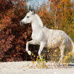 Half-bred mare rearing on the white sands against colorful trees