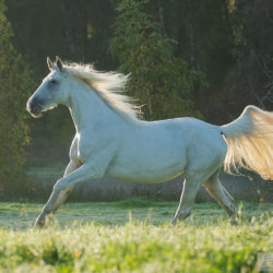 Half-bred mare galloping on the field in early morning